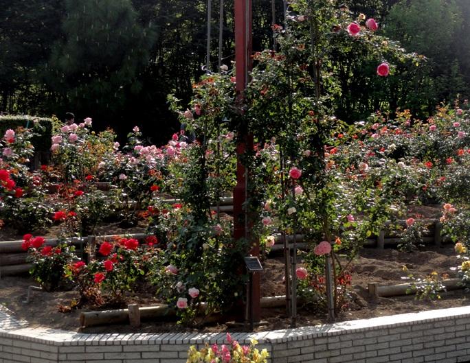20130515都市緑化植物園 薔薇 A