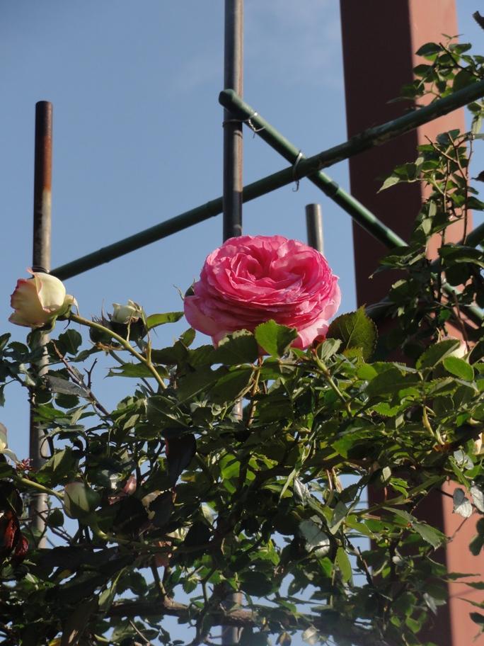 20130515都市緑化植物園 薔薇  3