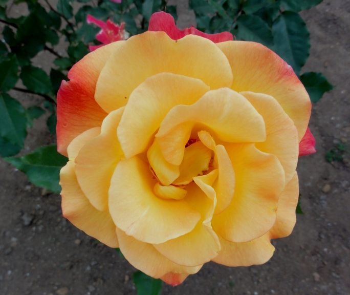 20130515都市緑化植物園 薔薇 リオ・サンバ. 8A