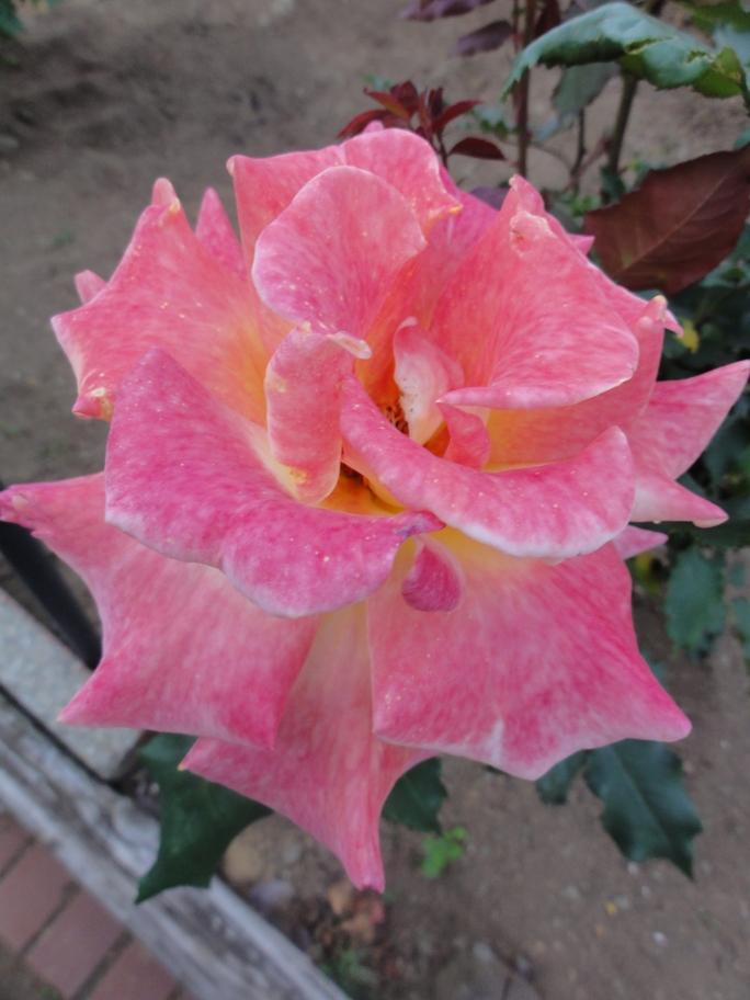 20130515都市緑化植物園 薔薇 リオ・サンバA