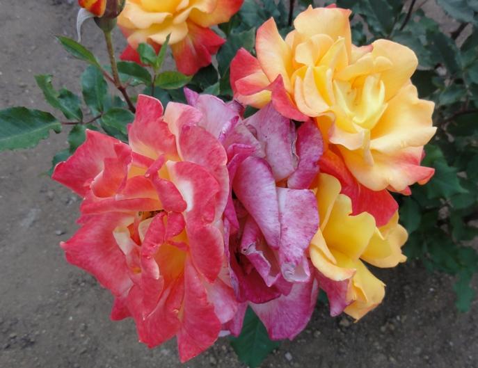 20130515都市緑化植物園 薔薇 リオ・サンバ. 10A