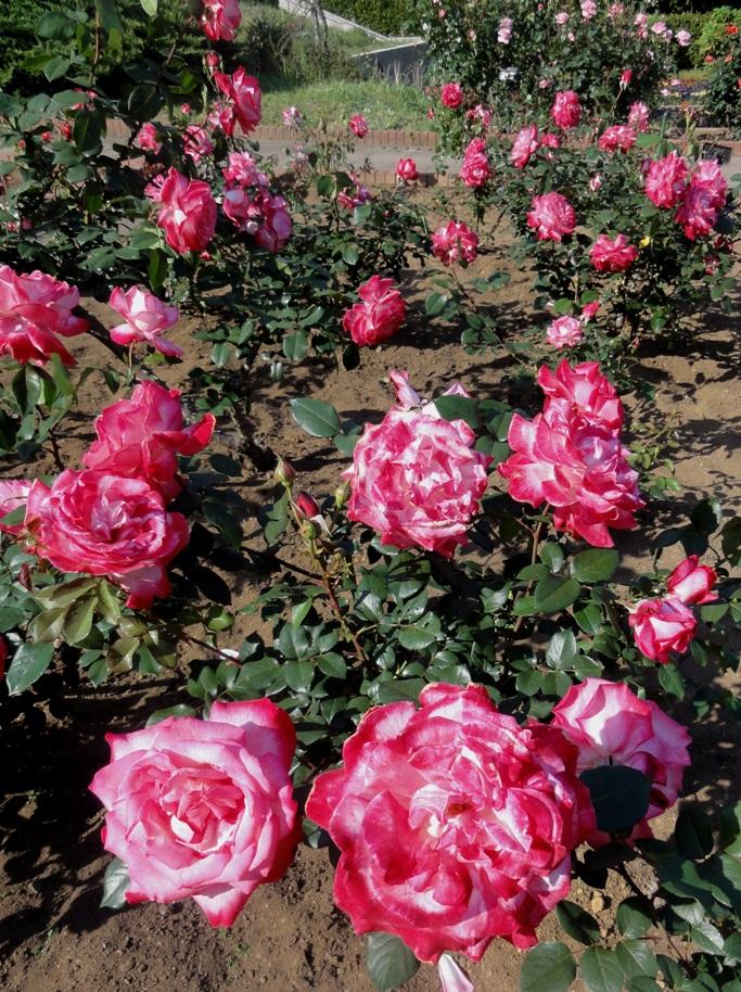 20130515都市緑化植物園 薔薇 聖火 3A