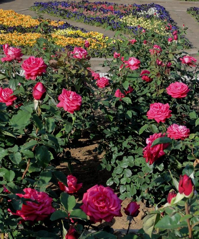 20130515都市緑化植物園 薔薇 ファースト・ブラッシュー 5A