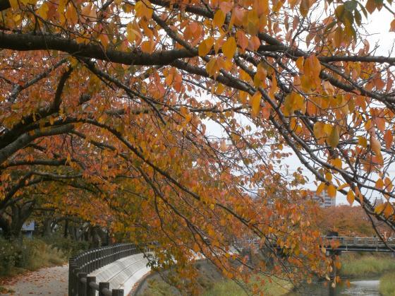 桜並木が紅葉並木