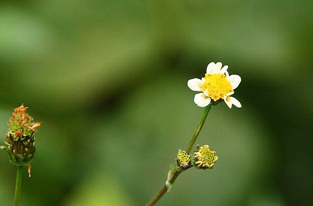 小白の栴檀草1