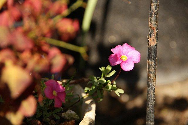 オキザリス 桃の輝き3