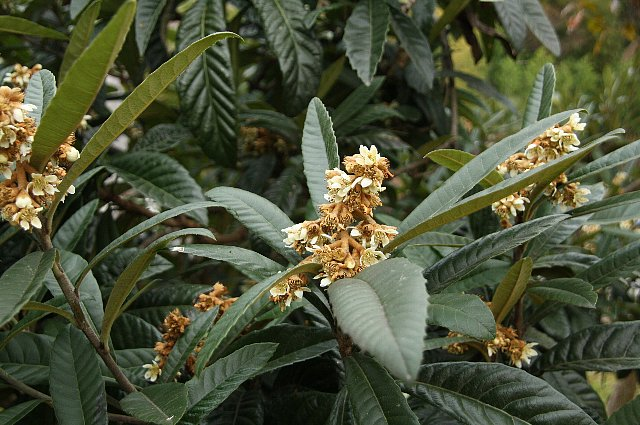 枇杷の花1