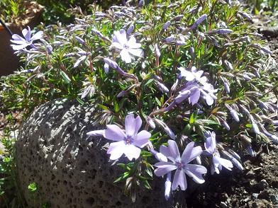芝桜・・・紫