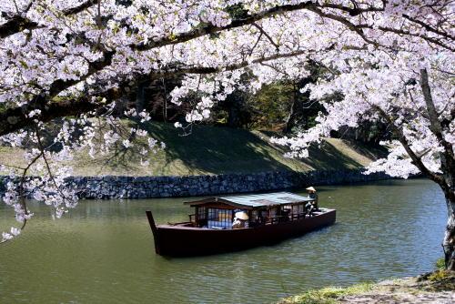 彦根城桜8
