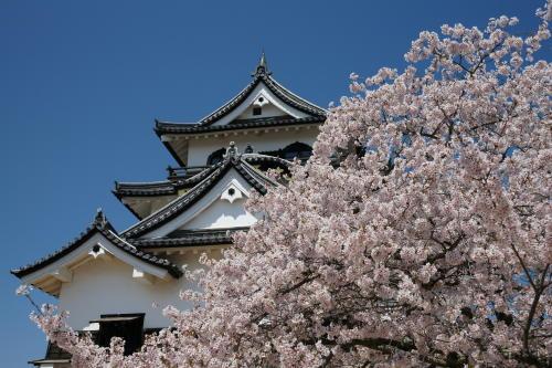 彦根城桜1
