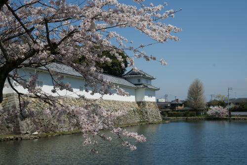 彦根城桜3