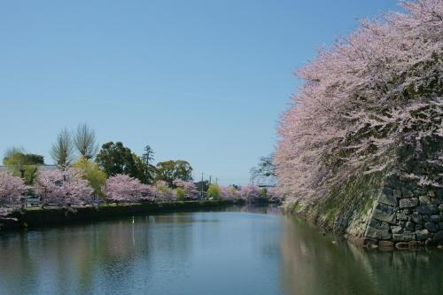 彦根城桜9