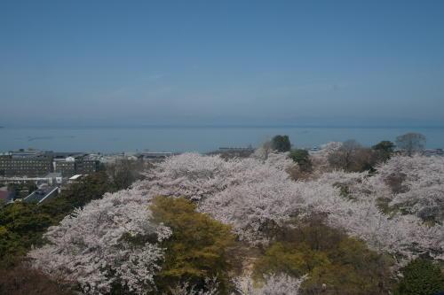 彦根城桜2