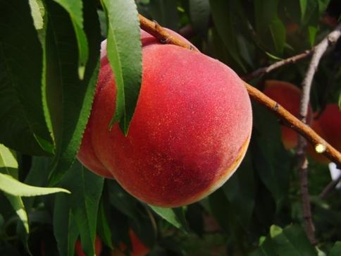 サン黄金桃