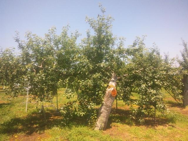中原リンゴ