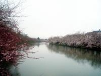 2013_sakura_4.jpg