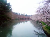 2013_sakura_5.jpg