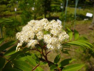 s-130428カラスザンショウの花