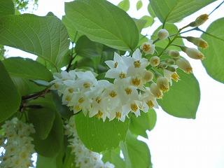 s-130428ハクウンボクの花