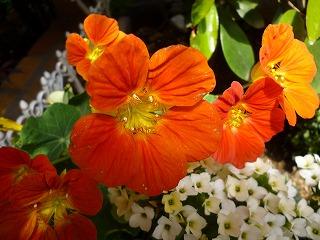 s-130504自宅オレンジ花