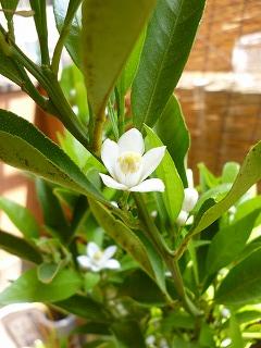 s-20130509みかんの花