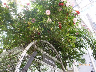 s-P20130514池袋の森のバラ