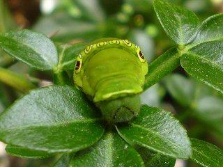 s-20130518ナミアゲハの幼虫