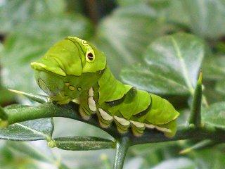 s-20130518ナミアゲハの幼虫Ⅱ