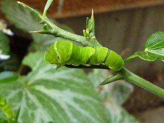 s-20130518ナミアゲハの幼虫Ⅲ