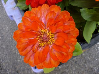 s-20130518百日草オレンジ