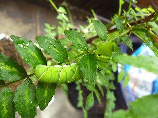 s-20130520サンショウの保護幼虫