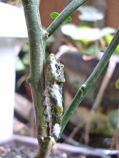 s-20130601幼虫