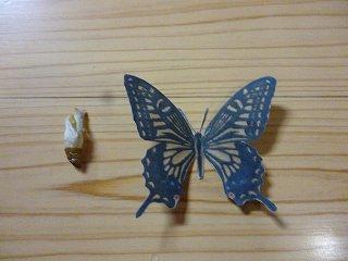 s-P1030926サナギと蝶の大きさ比較