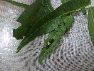 s-P1030963幼虫1