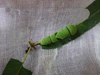 s-P1030967幼虫3.8