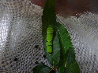 s-P1030966幼虫3、6