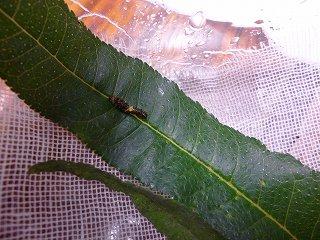s-P1030980幼虫2