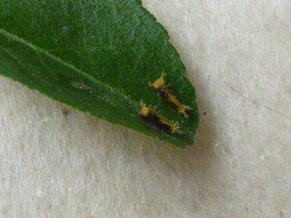 s-P1040139クロアゲハの幼虫2頭