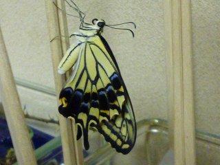 s-P1040228蝶の羽化Ⅱ
