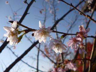 s-P1050076十月桜