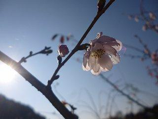 s-P1050075十月桜