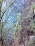 居心地のいい海にふわり、ニシキフウライウオ(2012/10/6黄金崎公園ビーチ)