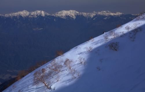 山肌に生える岳樺と赤石山群