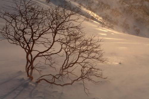 雪煙舞う岳樺の森