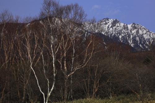 白樺と岳樺と残雪の権現岳