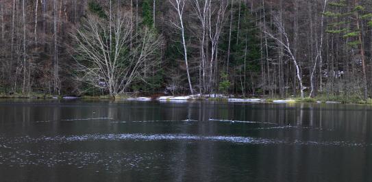 水鳥七羽の泳ぐ御射鹿池