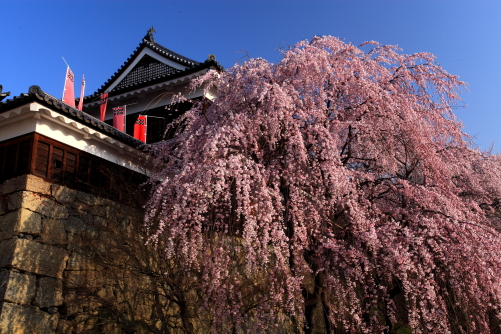 したせれ桜と上田城址