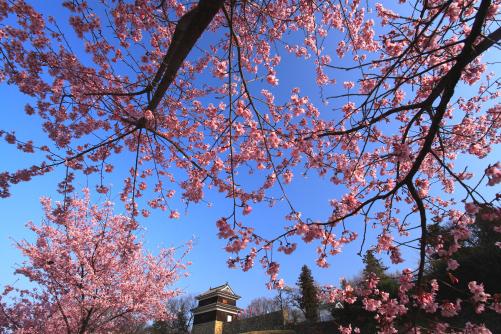 上田城址の桜・1