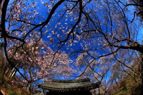 青空に桜と問屋門