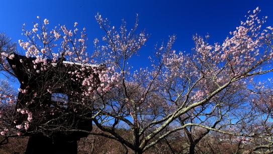 青空に映える桜と太鼓櫓